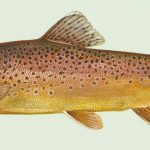 ماهی قِزِلآلا