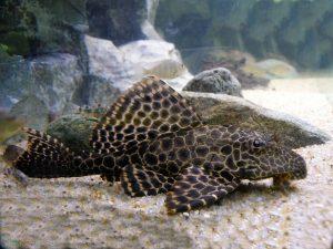 ماهی لجنخوار