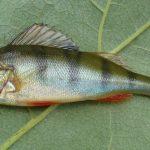 ماهی لوتی اروپایی
