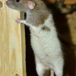 موش زیبا