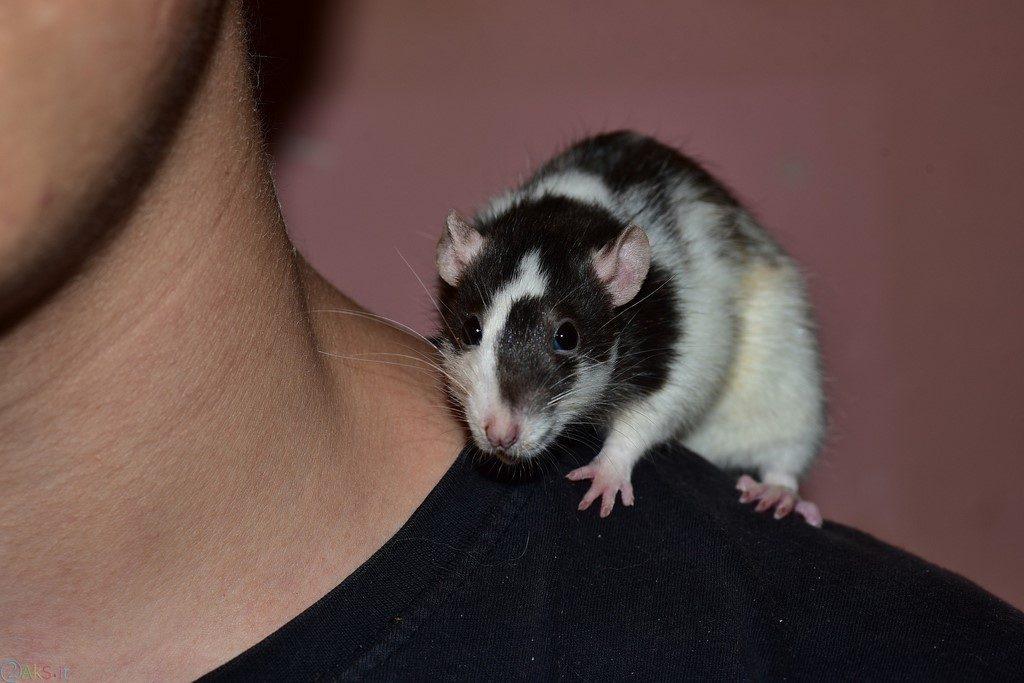 موش عکس