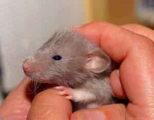 موش HD