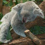 کوالا خاکستری