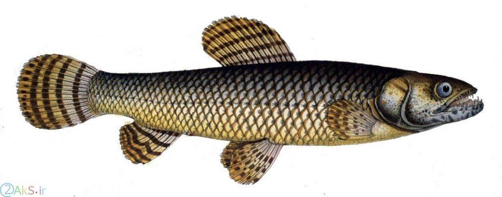 گرگ ماهی