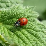 Coccinellidae images