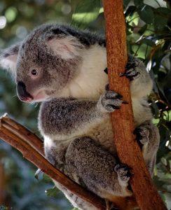 Images Koala