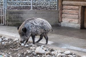 Images Wild boar