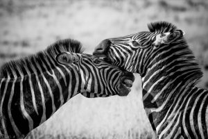 Images Zebra