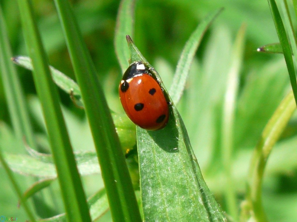 Photo Coccinellidae