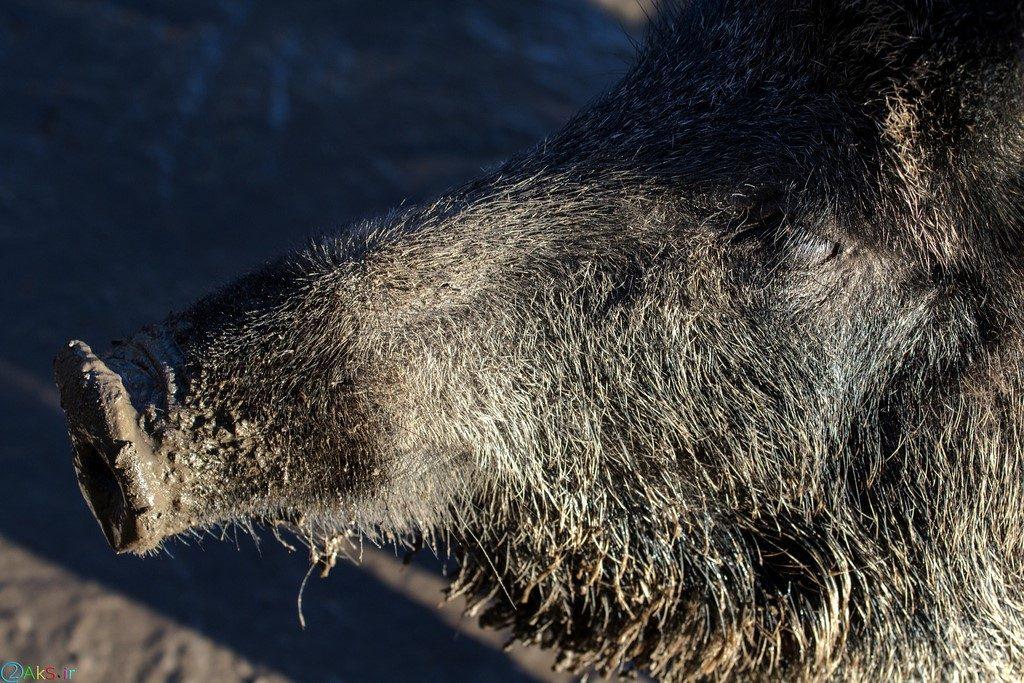 Photo Wild boar