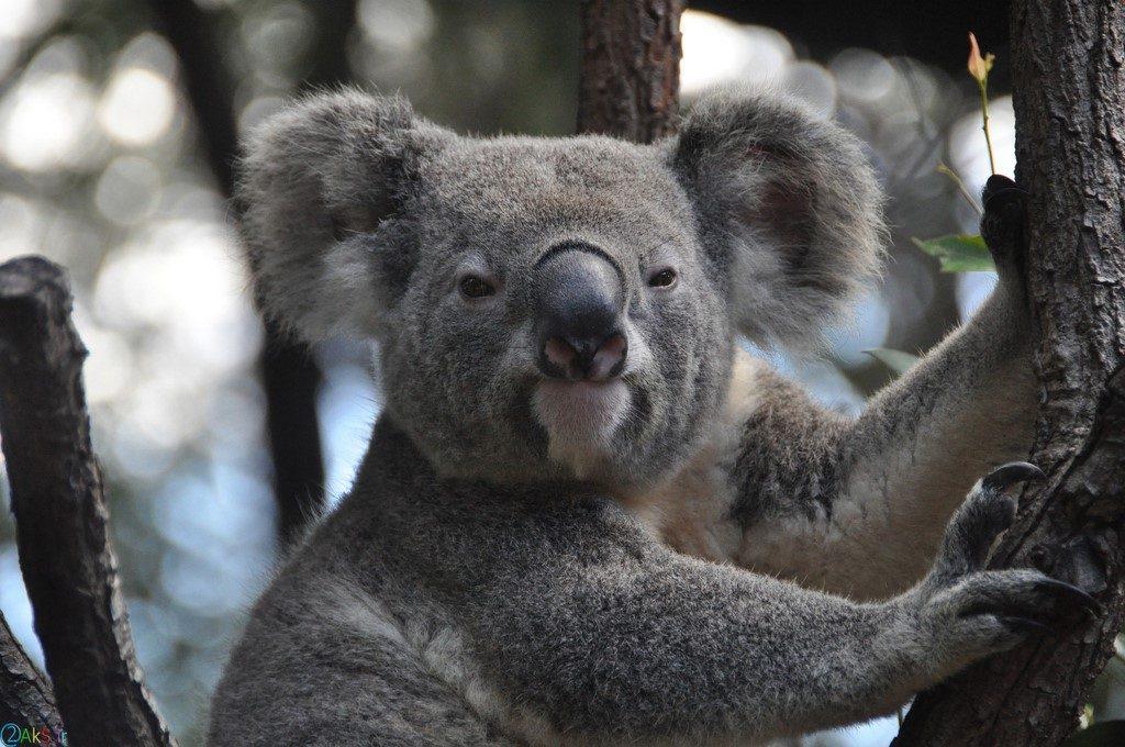 Photo koala