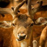Photos Deer