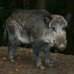 Photos Wild boar