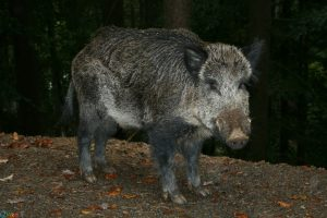 Photos Wild boar