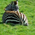 Photos Zebra