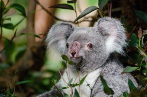 Photos koala
