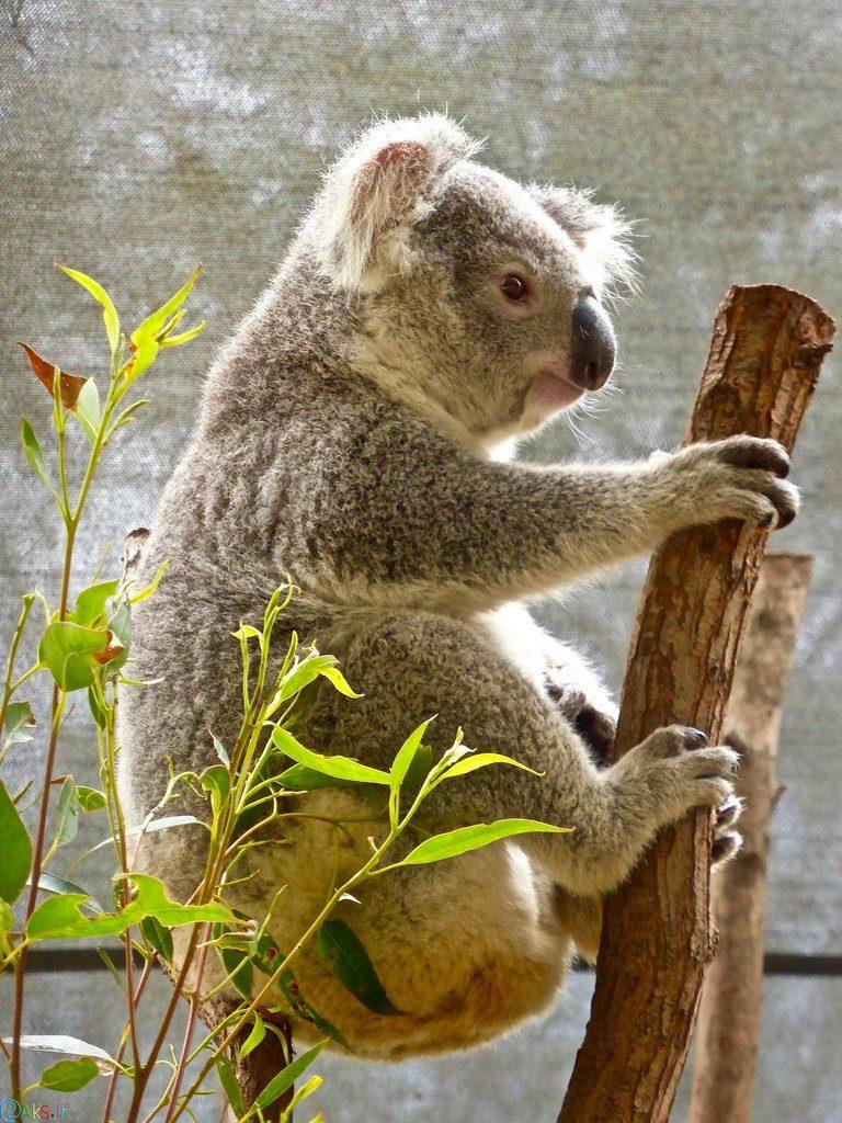 Pictures Koala