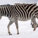 picture Zebra