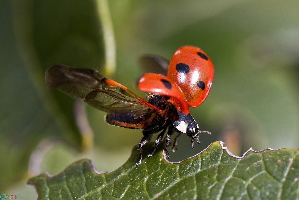 pictures Coccinellidae