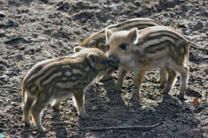 pictures Wild boar