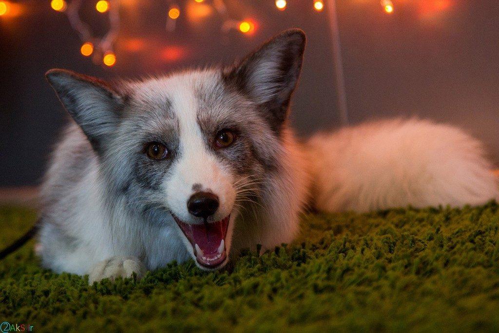 بچه روباه سفید