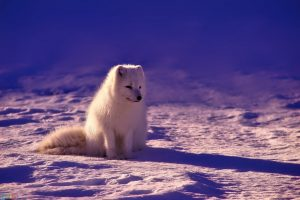 بچه روباه