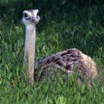 بچه شتر مرغ