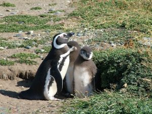بچه پنگوئن