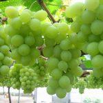 تصاویر انگور سفید