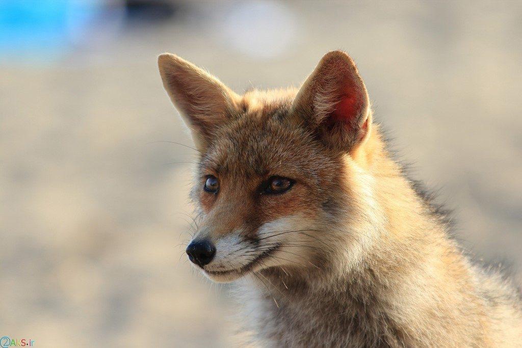 تصاویر روباه