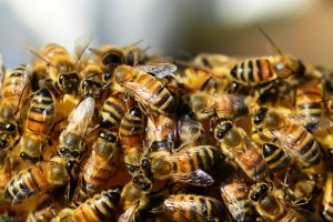 تصاویر زنبور عسل
