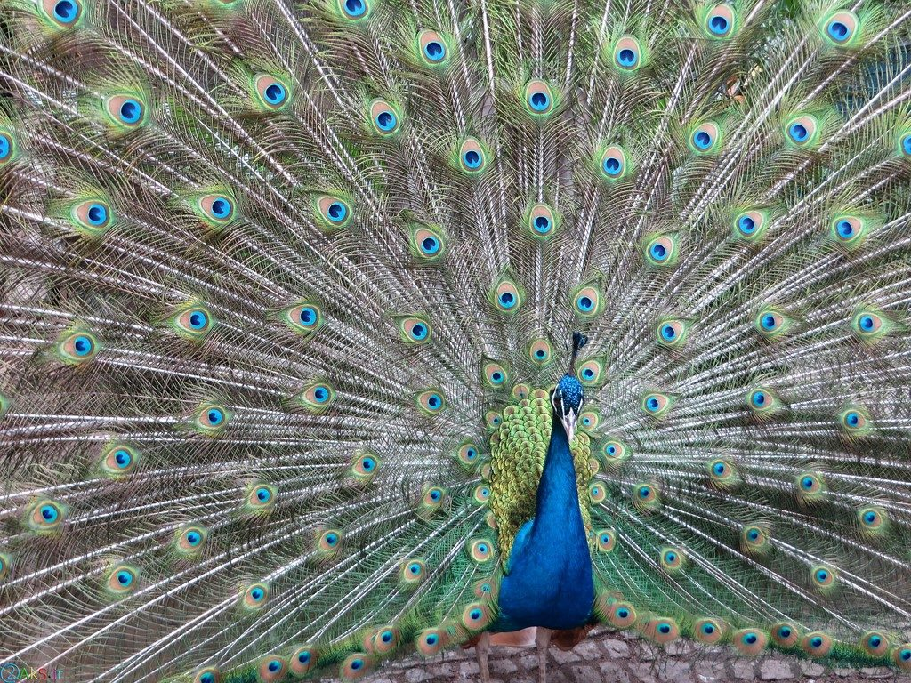 تصاویر طاووس