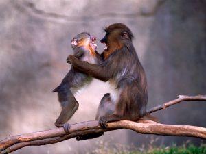 تصاویر میمون ها