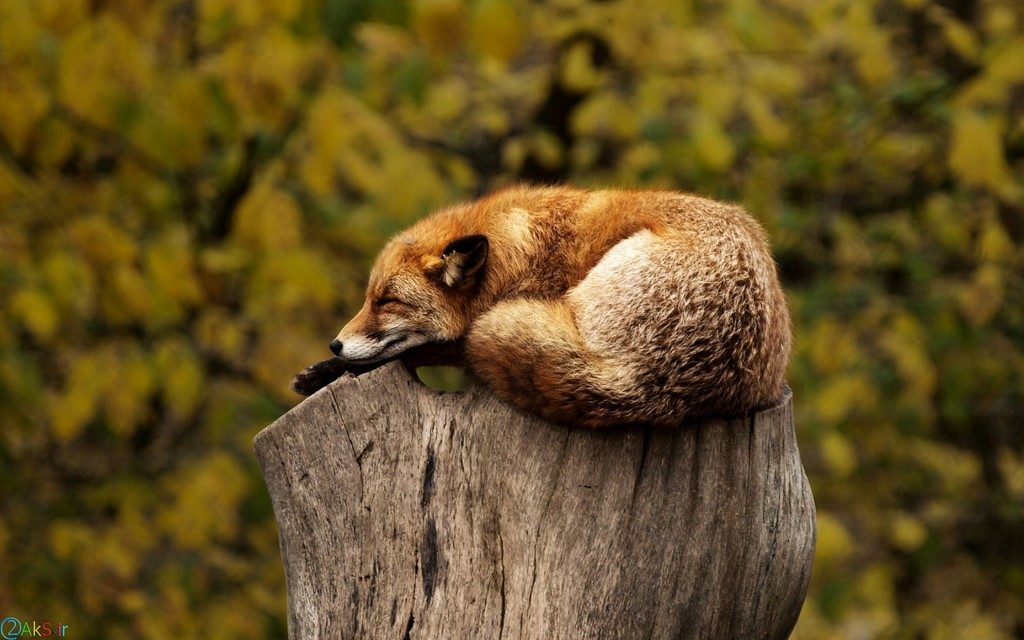 تصویر روباه