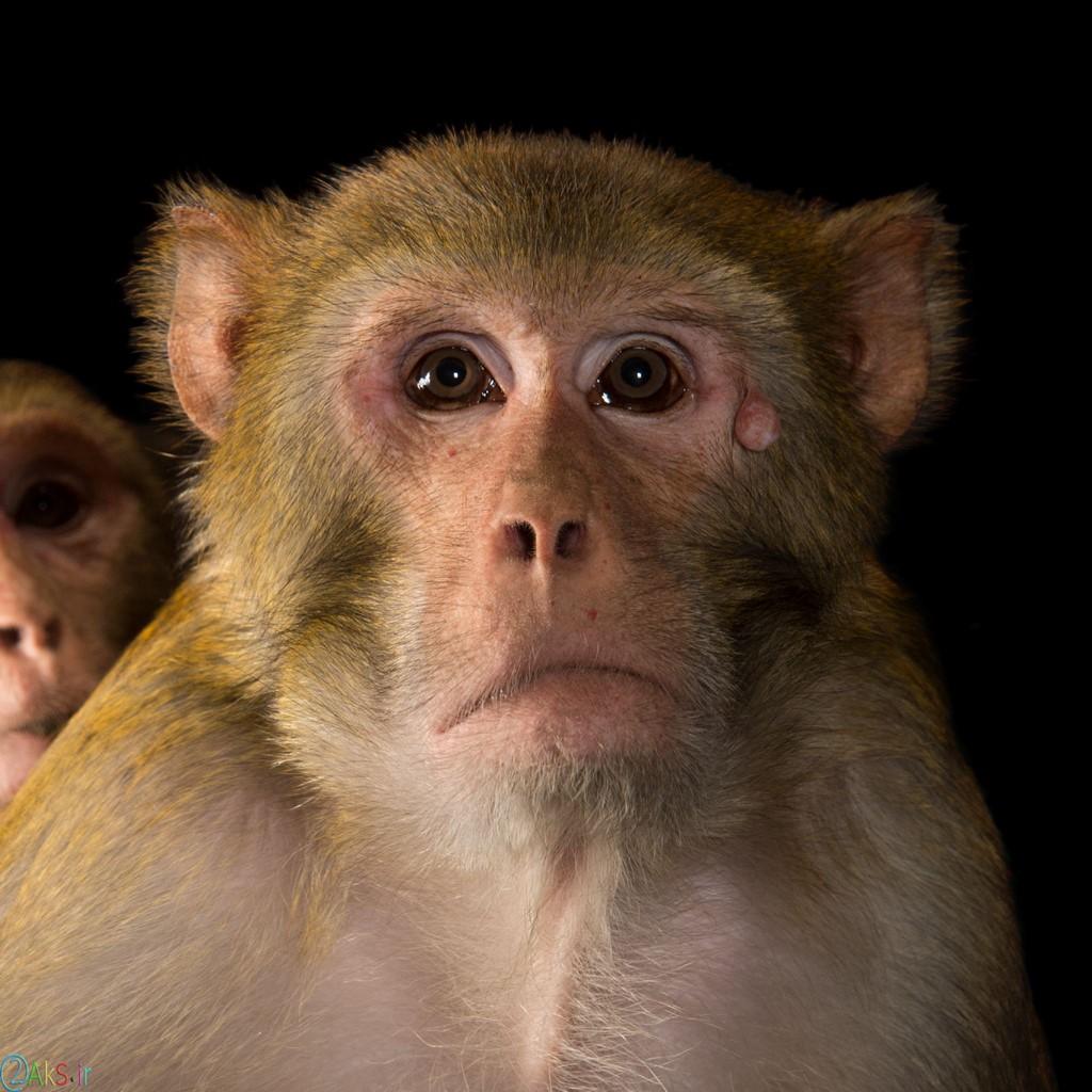 تصویر میمون