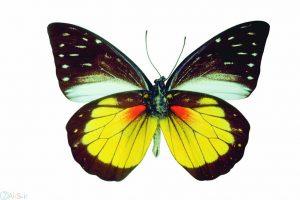 تصویر پروانه