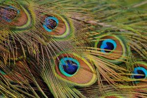 تصویر پر طاووس