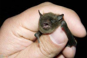 خفاش اچ دی