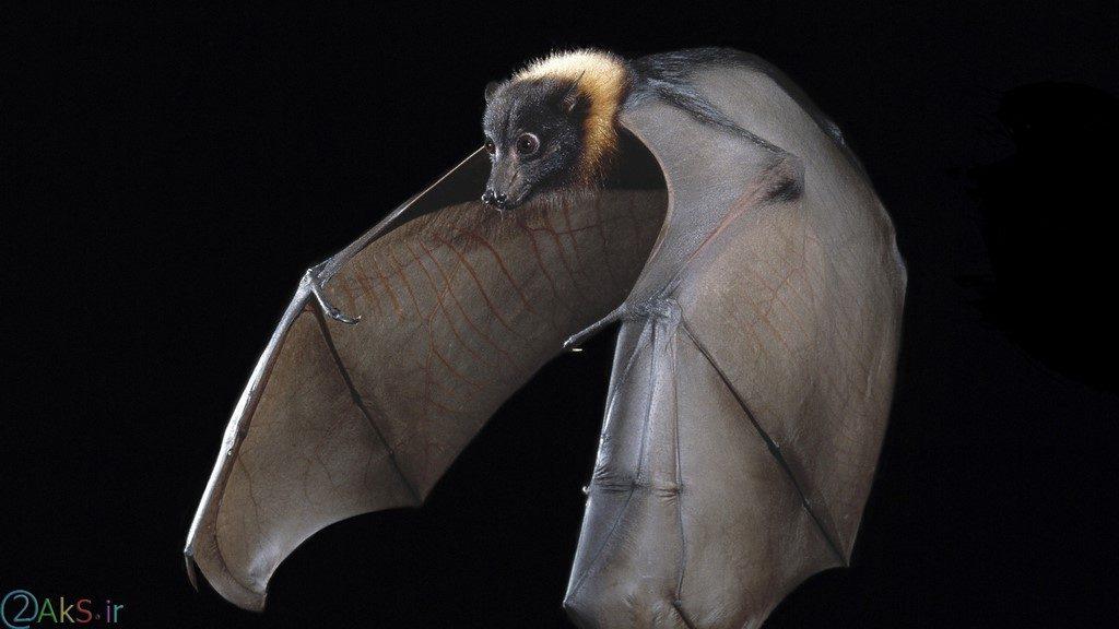 خفاش فول اچ دی