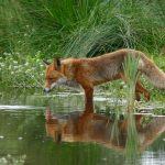 روباه اچ دی