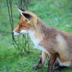 روباه ها