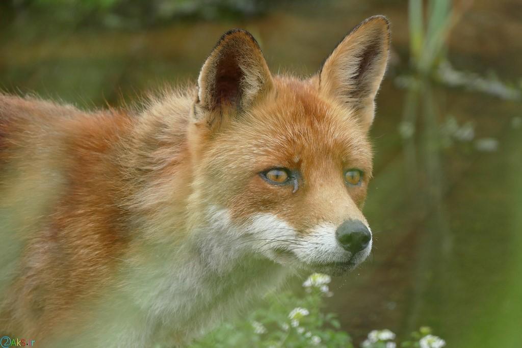 روباه وحشی