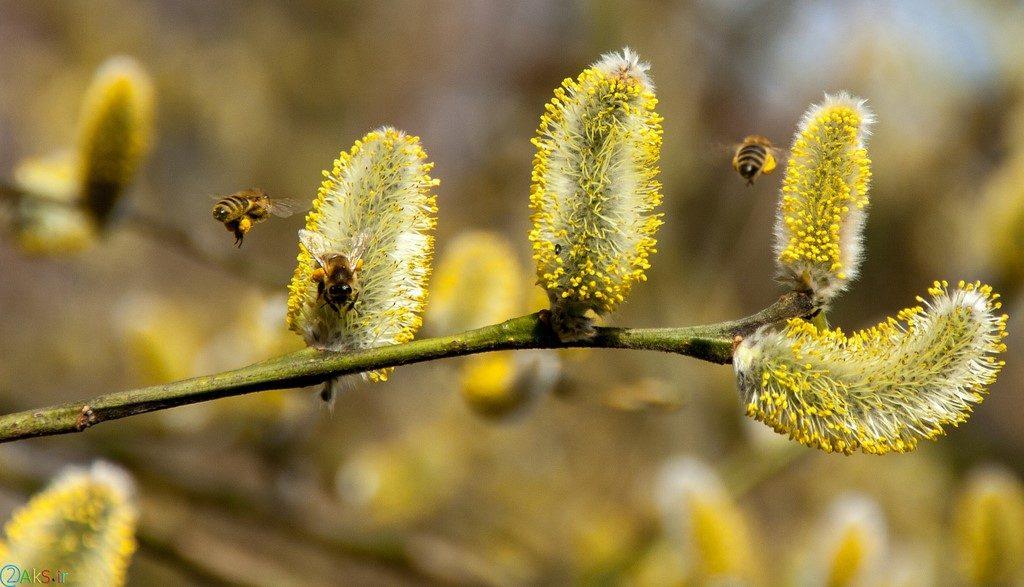 زنبور عسل در طبیعت