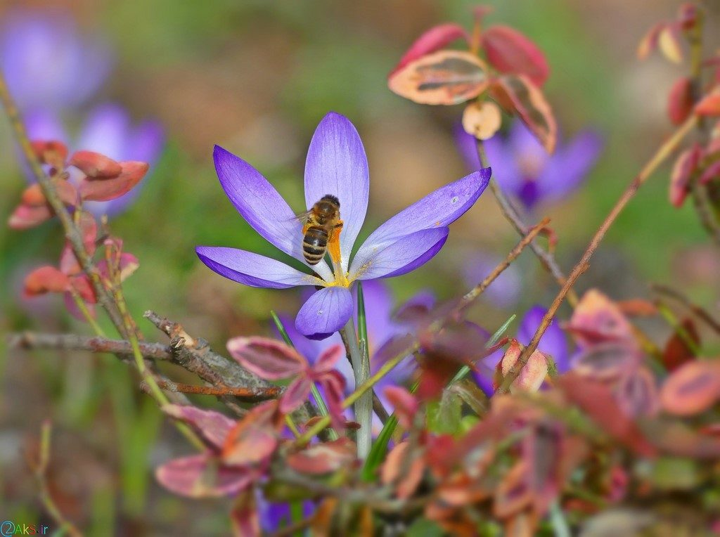 زنبور عسل روی گل