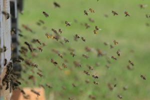 زنبور عسل ها