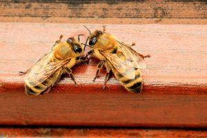 زنبور عسل کارگر