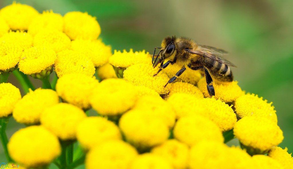 زنبور عسل HD