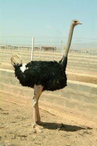 شتر مرغ تنها