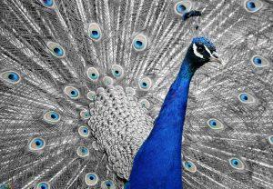 طاووسها