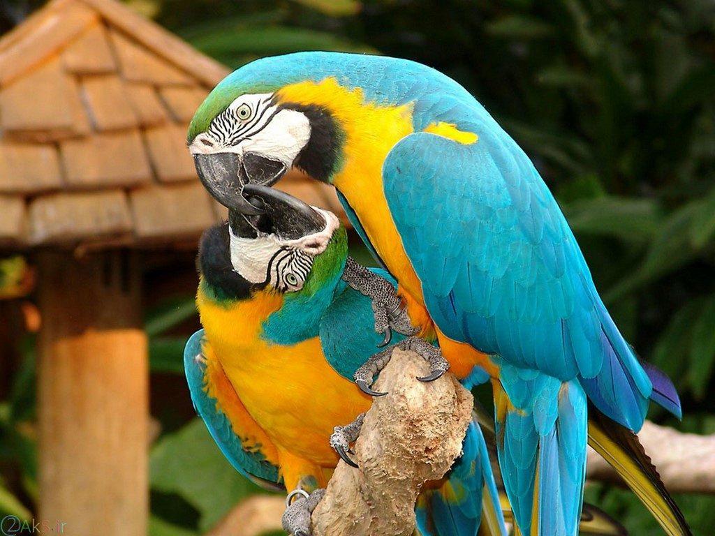 طوطی آبی